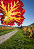 Colorful vine leaf in blue sky Stock Image