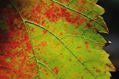 Colorful vine leaf for background Stock Photo