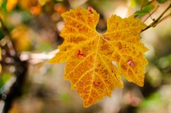 Colorful vine leaf at fall season Royalty Free Stock Image