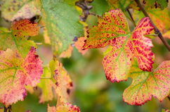 Colorful vine leaves Stock Photos