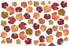 Colorful vine leaves on white background Royalty Free Stock Photos