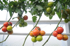 Colorful Vine Tomatoes. Growing professionally in a plantation. Not all of them are ripe yet Royalty Free Stock Image