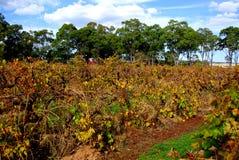 Colorful Vines, McLaren Vale. 80 year old autumn vines at Parri Estate in McLaren Flat (McLaren Vale, South Australia Stock Photos