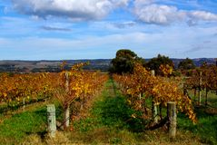 Colorful Vines, McLaren Vale Stock Image