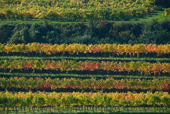 Colorful vineyard in Austria royalty free stock images