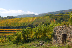 Colorful vineyard in Austria stock images
