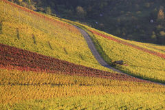 Colorful vineyard in autumn. Scenic view of colorful vineyard on hillside in autumn Royalty Free Stock Photography