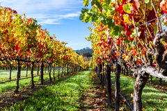 Colorful vineyard in autumn. Beautiful vineyard in Alexander Valley California with vivid autumn colors early in the morning stock photos