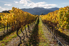 Colorful vineyard in autumn Royalty Free Stock Images