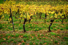 Colorful vineyard in autumn Royalty Free Stock Image