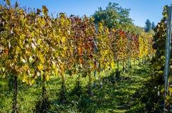 Colorful autumn vineyard Stock Photography