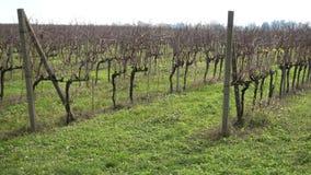 Vineyard in autumn stock footage