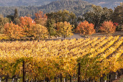 Colorful vineyard field. Fall season at the winery, vines with colorful yellow leaves in the wine county Royalty Free Stock Photography