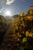 Vineyard of the alpine mountain village of Aymavilles, Aosta, Italy royalty free stock photo