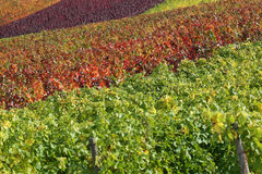 Colorful vineyards in autumn with copyspace Royalty Free Stock Images