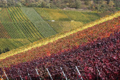 Colorful vineyards in autumn Stock Images
