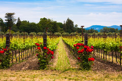 Colorful vineyards in Napa Valley,California Stock Photos