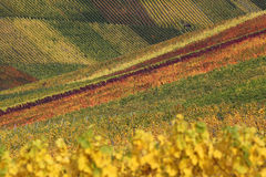 Colorful vineyards with wine in autumn Royalty Free Stock Images
