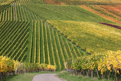 Colorful vineyards during the wine grapes harvest Royalty Free Stock Image