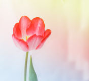 Colorful vintage pink tulip flower . Royalty Free Stock Images