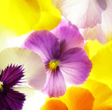 Colorful viola Stock Photos