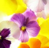 Colorful viola Stock Photos