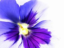 Colorful viola Royalty Free Stock Images