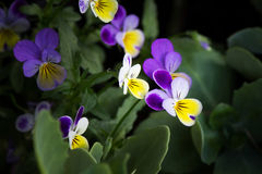 Colorful violas. Tricolor violas, in purple, white and yellow color Royalty Free Stock Images