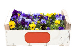 Colorful violets in a box Royalty Free Stock Photo