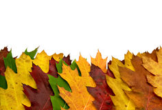 Colorful vivid maple leaves Royalty Free Stock Image