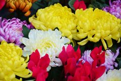 Colorful vivid petals and flowers, natural background, garden beauty Royalty Free Stock Photo