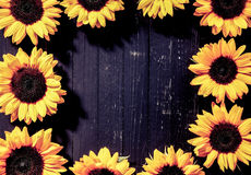 Colorful vivid yellow sunflower border or frame Royalty Free Stock Image