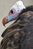 Colorful Vulture. Royalty Free Stock Images