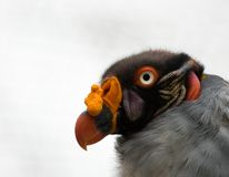 Colorful vulture head ( king vulture ) Stock Photography