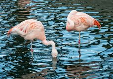 Pink Flamingos, wading birds. Colorful wading birds, Pink Flamingos royalty free stock photo