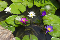 Colorful water lilies close up Stock Photos