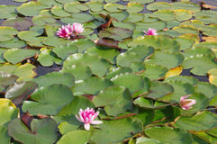 Colorful Water Lilies Royalty Free Stock Photos