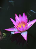 Colorful water lily Royalty Free Stock Photo