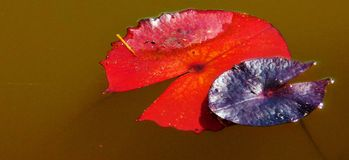 Colorful water lily leaves Stock Photo