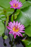 Colorful Water Lily or Lotus flower Stock Photography