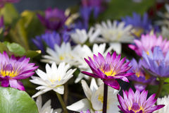 Colorful water lily Stock Photos