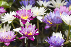 Colorful water lily Stock Images