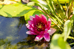 Colorful water lily in a pond. Colorful red water lily in a pond on light green leaves royalty free stock photo