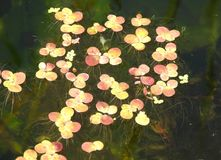 Colorful water plants in river, Lithuania Royalty Free Stock Photos