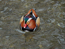 Colorful waterbird Royalty Free Stock Photos