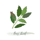 A Colorful watercolor texture vector healthy vegetable bay leaf Stock Images