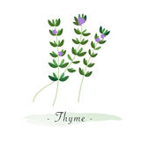 A Colorful watercolor texture vector healthy vegetable thyme Stock Images
