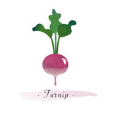 A Colorful watercolor texture vector healthy vegetable turnip Stock Images
