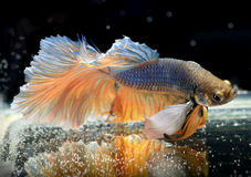 Colorful  waver of Betta Saimese fighting fish Stock Photography