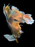 Colorful  waver of Betta Saimese fighting fish Stock Photos